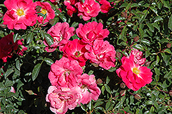 Flower Carpet Pink Supreme Rose (Rosa 'Flower Carpet Pink Supreme') at Roger's Gardens