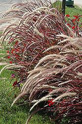 Fireworks Fountain Grass (Pennisetum setaceum 'Fireworks') at Roger's Gardens