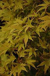 Ryusen Japanese Maple (Acer palmatum 'Ryusen') at Roger's Gardens