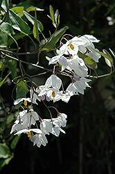 Potato Vine (Solanum jasminoides) at Roger's Gardens