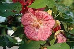Bella Pink Flowering Maple (Abutilon 'Bella Pink') at Roger's Gardens