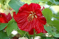 Bella Red Flowering Maple (Abutilon 'Bella Red') at Roger's Gardens