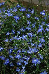 California Sky Blue Lobelia (Lobelia 'California Sky Blue') at Roger's Gardens