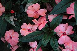 Magnum Peach New Guinea Impatiens (Impatiens 'Magnum Peach') at Roger's Gardens