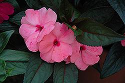 Magnum Pink New Guinea Impatiens (Impatiens 'Magnum Pink') at Roger's Gardens
