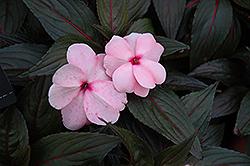 Magnum White Blush New Guinea Impatiens (Impatiens 'Magnum White Blush') at Roger's Gardens