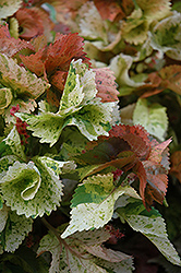 Peach Whirl Copper Plant (Acalypha wilkesiana 'Peach Whirl') at Roger's Gardens