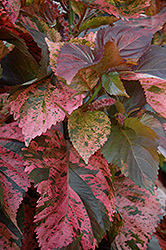 Beyond Paradise Copperleaf (Acalypha wilkesiana 'Beyond Paradise') at Roger's Gardens