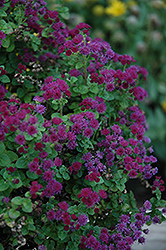 Artist Purple Flossflower (Ageratum 'Agmontis') at Roger's Gardens