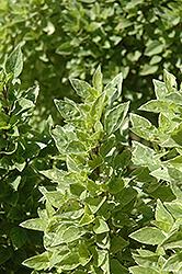 Pesto Perpetuo Basil (Ocimum x citriodorum 'Pesto Perpetuo') at Roger's Gardens