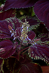 Emotions Sophisticated Coleus (Solenostemon scutellarioides 'Sophisticated') at Roger's Gardens