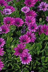 Akila Purple African Daisy (Osteospermum ecklonis 'Akila Purple') at Roger's Gardens