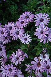 Akila Lavender Shades African Daisy (Osteospermum ecklonis 'Akila Lavender Shades') at Roger's Gardens