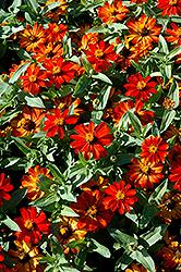 Zahara Fire Zinnia (Zinnia 'Zahara Fire') at Roger's Gardens