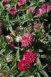Zahara Double Strawberry Zinnia (Zinnia 'Zahara Double Strawberry') at Roger's Gardens
