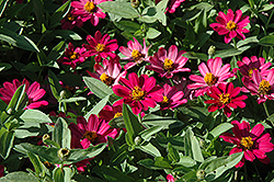 UpTown Pink Champagne Zinnia (Zinnia 'UpTown Pink Champagne') at Roger's Gardens