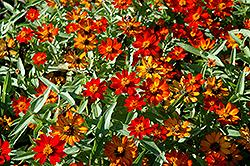 UpTown Orange Blossom Zinnia (Zinnia 'UpTown Orange Blossom') at Roger's Gardens