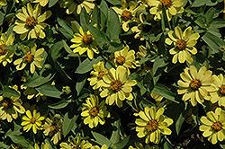 Zahara Yellow Zinnia (Zinnia 'Zahara Yellow') at Roger's Gardens