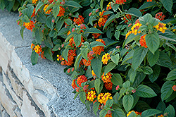 Lucky Red Flame Lantana (Lantana camara 'Lucky Red Flame') at Roger's Gardens