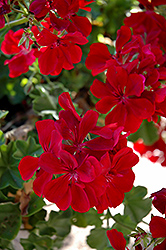 Precision Ruby Ivy Leaf Geranium (Pelargonium peltatum 'Precision Ruby') at Roger's Gardens