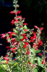 Summer Jewel Red Sage (Salvia 'Summer Jewel Red') at Roger's Gardens