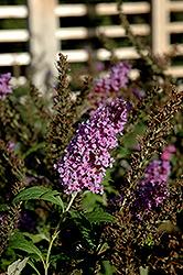 Buzz Violet Blue Butterfly Bush (Buddleia davidii 'Buzz Violet Blue') at Roger's Gardens