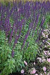 Mystic Spires Blue Sage (Salvia 'Balsalmisp') at Roger's Gardens