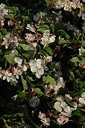 BabyWing White Begonia (Begonia 'BabyWing White') at Roger's Gardens