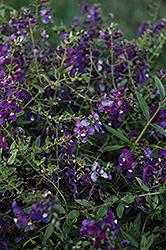AngelMist Spreading Purple Angelonia (Angelonia angustifolia 'AngelMist Spreading Purple') at Roger's Gardens