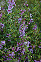 AngelMist Purple Angelonia (Angelonia angustifolia 'AngelMist Purple') at Roger's Gardens