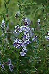 AngelMist Purple Stripe Angelonia (Angelonia angustifolia 'AngelMist Purple Stripe') at Roger's Gardens