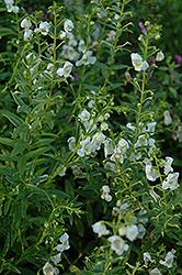 AngelMist White Angelonia (Angelonia angustifolia 'AngelMist White') at Roger's Gardens