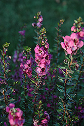 Angelina Dark Rose Angelonia (Angelonia angustifolia 'Angelina Dark Rose') at Roger's Gardens