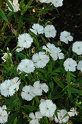 Floral Lace White Pinks (Dianthus 'Floral Lace White') at Roger's Gardens