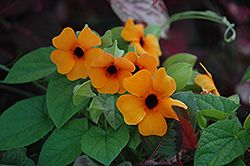Sunny Susy Red Orange Black-Eyed Susan (Thunbergia alata 'Sunny Susy Red Orange') at Roger's Gardens
