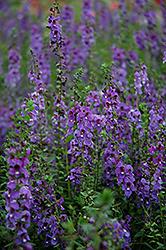 Serena Blue Angelonia (Angelonia angustifolia 'PAS1141443') at Roger's Gardens