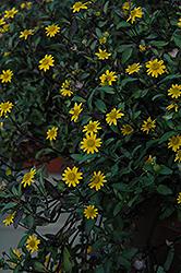 Show Yellow Creeping Zinnia (Sanvitalia procumbens 'Show Yellow') at Roger's Gardens