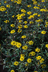 Tsavo Golden Yellow Creeping Zinnia (Sanvitalia procumbens 'Tsavo Golden Yellow') at Roger's Gardens