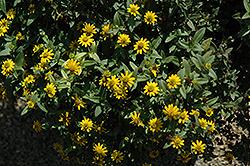 Solaris Compact Yellow Creeping Zinnia (Sanvitalia procumbens 'Solaris Compact Yellow') at Roger's Gardens