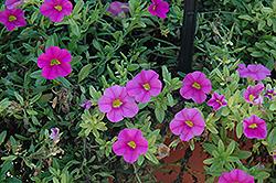 Aloha Pink Calibrachoa (Calibrachoa 'Aloha Pink') at Roger's Gardens