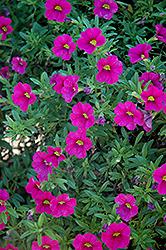 Aloha Neon Calibrachoa (Calibrachoa 'Aloha Neon') at Roger's Gardens