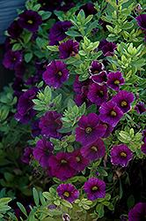 Aloha Midnight Purple Calibrachoa (Calibrachoa 'Aloha Midnight Purple') at Roger's Gardens
