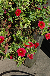 Aloha Dark Red Calibrachoa (Calibrachoa 'Aloha Dark Red') at Roger's Gardens