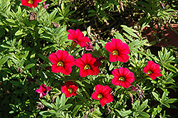 Aloha Kona Cherry Calibrachoa (Calibrachoa 'Aloha Kona Cherry') at Roger's Gardens