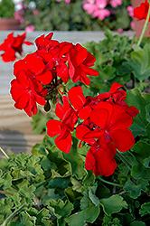 Calliope Scarlet Fire Geranium (Pelargonium 'Calliope Scarlet Fire') at Roger's Gardens