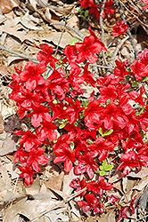 Encore Autumn Monarch Azalea (Rhododendron 'Conleo') at Roger's Gardens