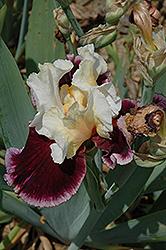 Raspberry Swirl Iris (Iris 'Raspberry Swirl') at Roger's Gardens