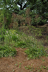 Mottled Tuberose (Manfreda variegata) at Roger's Gardens