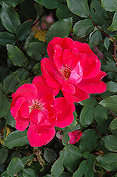 Red Knock Out Rose (Rosa 'Red Knock Out') at Roger's Gardens