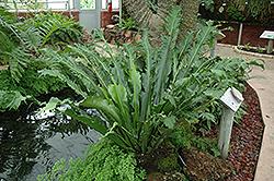 Japanese Nest Fern (Asplenium antiquum) at Roger's Gardens